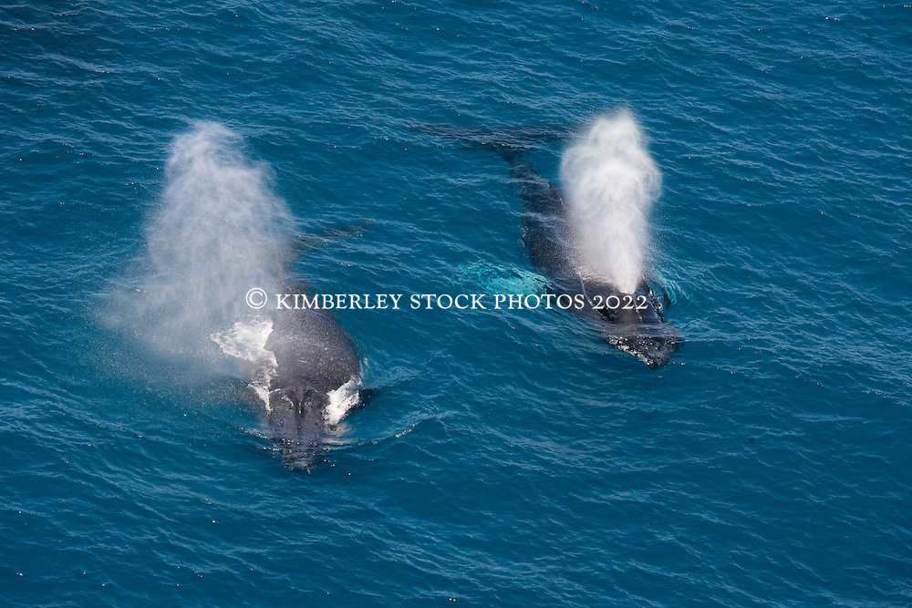 Two whales exhale together as they travel on the surface off James Price Point on the Kimberley coast.