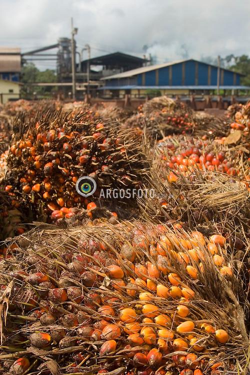 "Tailandia, Para, Brazil     Mar/27/2006.Farm of the Agropalma Group, that  produce biodiesel from the fruit of the oil palm tree (Elaeis guineesis), called ""palmdiesel"". The cultivated area is 32.ooo hectare, sorrounding with 50.000 hectars of retention Amazon tropical forest / Fazenda de dende (Elaeis guineesis),  do Grupo Agropalma, que produz oleo de dende para as industrias alimenticias e para producao de biodiesel, chamado ""palmdiesel""."