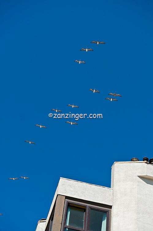 Spot-billed Pelican or Grey Pelican (Pelecanus philippensis) in Flight, Formation