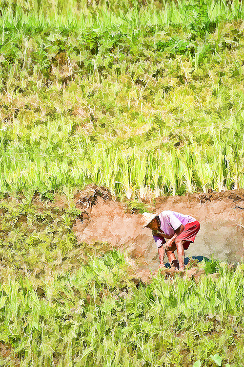 Farmer in rice paddy field
