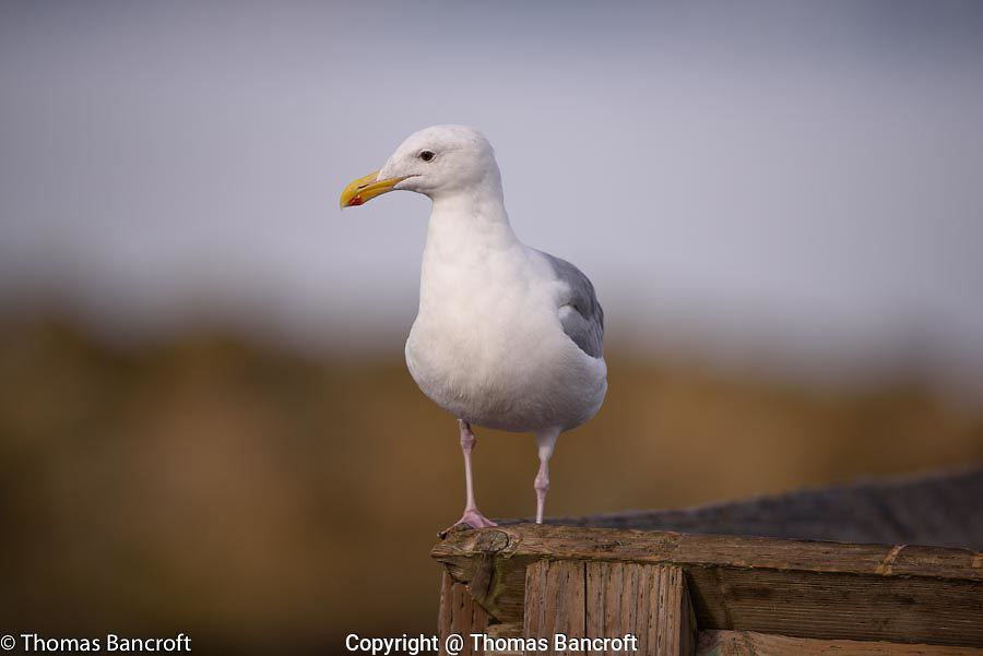 Glaucous-winged gull surveys the water around the pier.