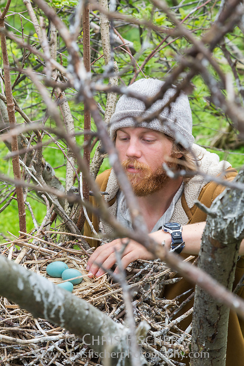 Biologist John Gorey counts the number of eggs in an egret nest while conducting the 2013 Wading Bird Survey on Stratton Island, Maine.