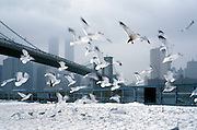 flock of sea gulls flying near Brooklyn Bridge