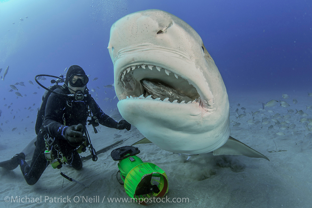 Captain Randy Jordan of Emerald Charters feeds a Tiger Shark, Galeocerdo cuvier, during a shark dive in Federal waters offshore Jupiter Florida, USA.