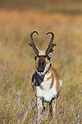 Buck Pronghorn (antelope) in habitat