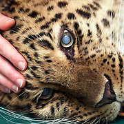 Jessei, a rare  Siberian  leopard, has undergone a unique operation to remove cataracts at the Animal Health Trust in Newmarket, Suffolk.  .