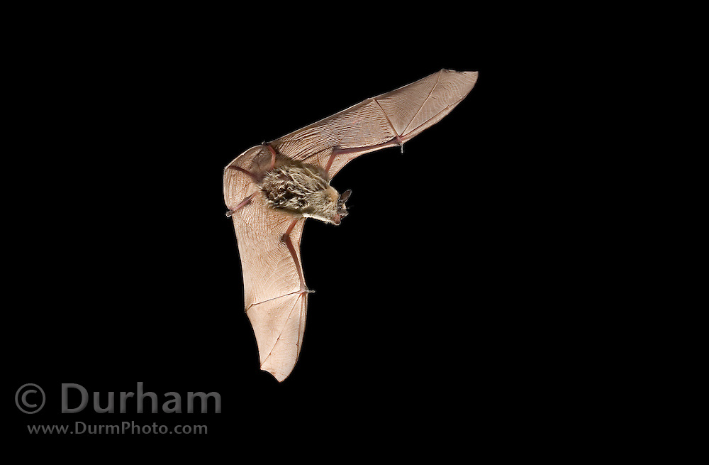 A western pipistrelle bat (Pipistrellus hesperus) in the John Day Fossil Beds National Monument, Clarno Unit, Oregon. This is the smallest bat found north of Mexico.