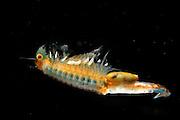 [captive] Fairy Shrimp (Eubranchipus grubii) female with eggs visible inside her | Frühjahrsfeenkrebs (Eubranchipus grubii)