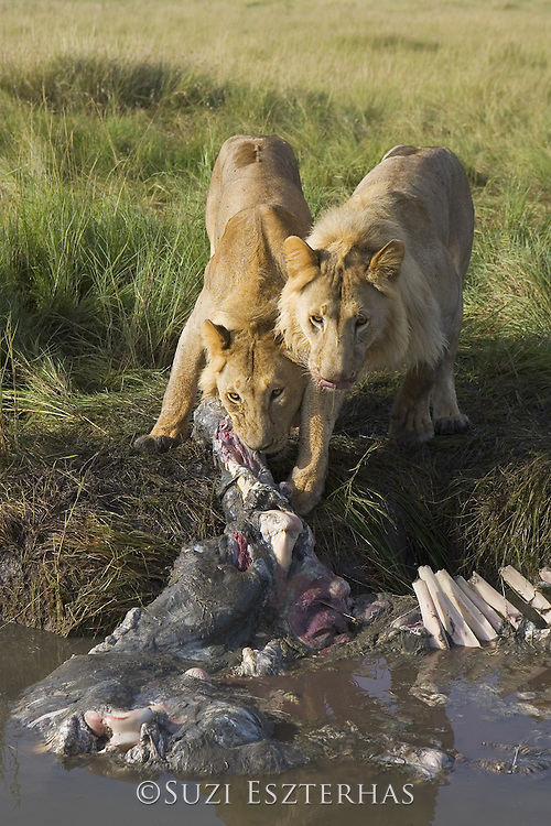 Lion <br /> Panthera leo<br /> Male (s) at hippo kill<br /> Maasai Mara Reserve, Kenya