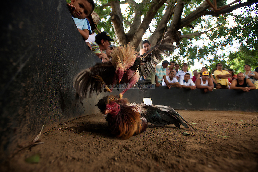 Cockfighting can be fatal and terminate only if the owner decides to retire defeated rooster on time. Lezama, 09/07/13. (Gregorio Marrero / Orinoquiaphoto)