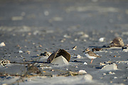 Wilson's Plover (Charadrius wilsonia)<br /> Little St Simon's Island, Barrier Islands, Georgia<br /> USA<br /> RANGE: Both coasts of USA and west coast of Mexico<br /> Migratatory bird