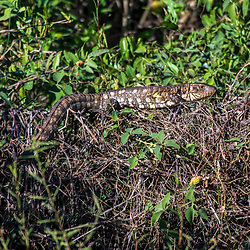 """Víbora-do-pantanal (Dracaena paraguayensis) fotografado em Corumbá, Mato Grosso do Sul. Bioma Pantanal. Registro feito em 2017.<br /> <br /> <br /> <br /> ENGLISH: Lizard photographed in Corumbá, Mato Grosso do Sul. Pantanal Biome. Picture made in 2017."""