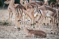 Impala herd, Kruger National Park, Limpopo, South Africa