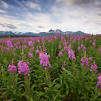 USA, Alaska, Katmai National Park, Fireweed (Epilobium angusCR2olium) in meadow along Hallo Bay