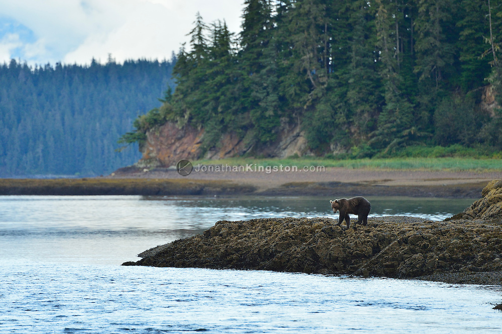 A grizzly bear walks on a spit of land over Fresh Water Bay on Chichagof Island, Alaska.