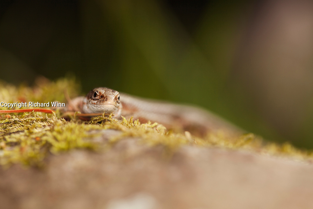 Head on view of a female common lizard, using selective focus.