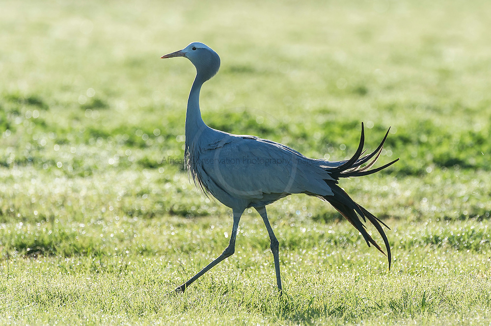 Blue Crane African Conservation Photography