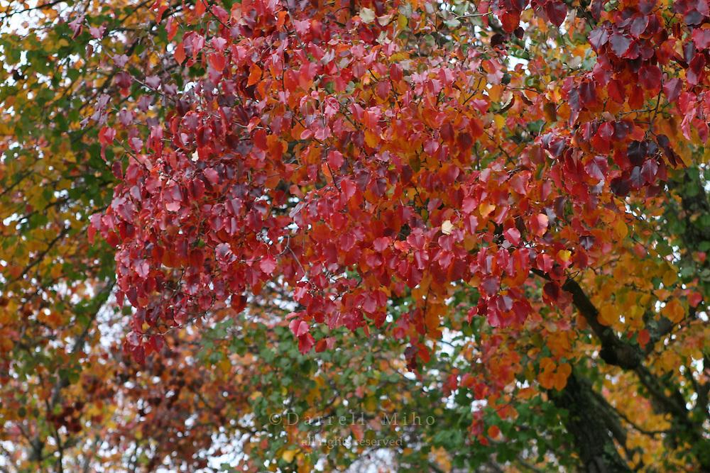 Dec 23, 2005; Napa, CA, USA;  Colorful tree leaves at the Niebaum-Coppola Winery...Mandatory Credit: Darrell Miho.Copyright © 2005 Darrell Miho