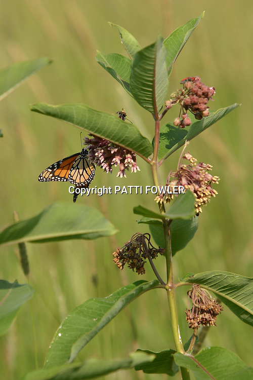 Monarch butterfly on milkweed plants