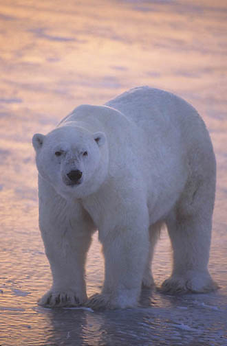 Polar Bear, (Ursus maritimus) On frozen ice of Churchill, Manitoba. Canada.