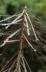 Pseudopanax crassifolius - Lancewood