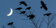 Middletown, New York - Crows gather in tree branches with the crescent moon in the background on Nov. 3, 2016.