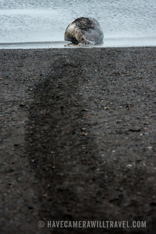 A Weddell seal lounges at the waterline at Whalers Bay on Deception Island, with the path he has dragged himself clearly visible in the dark volcanic sand of the beach. Deception Island, in the South Shetland Islands, is a caldera of a volcano and is comprised of volcanic rock.