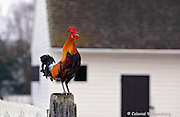 A crowing rooster at Colonial Williamsburg.