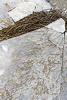 Rockweed (Ascophyllum nodosum) frozen into sea ice, Northeast Harbor, Maine.