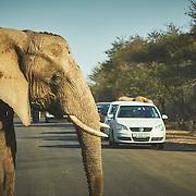 Elephant walking across road in Kruger National Park, South Africa