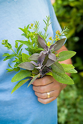 Holding a bunch of freshly gathered herbs including sage, rosemary and mint. Mentha, Rosmarinus and Salvia officinalis 'Purpurascens'
