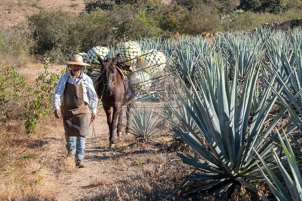 A jimador leads a donkey carrying baskets of blue agave pineapple-like cores during harvest in a field owned by the Siete Leguas tequila distillery in the Jalisco Highlands of Mexico. Siete Leguas is a family owned distillery crafting the finest tequila using the traditional process unchanged since for 65-years.