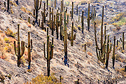 22 JUNE 2005 - CAVE CREEK, AZ:   A saguaro cactus forest destroyed by the Cave Creek Complex Fire, a large wild fire which burned northeast of Phoenix. The Cave Creek Complex fire was the third largest wildfire in the state of Arizona to date, after the Rodeo-Chediski fire and Wallow Fire. The fire started on June 21, 2005 by a lightning strike during a monsoon storm and burned 243,950 acres (987.2 km2).   PHOTO BY JACK KURTZ