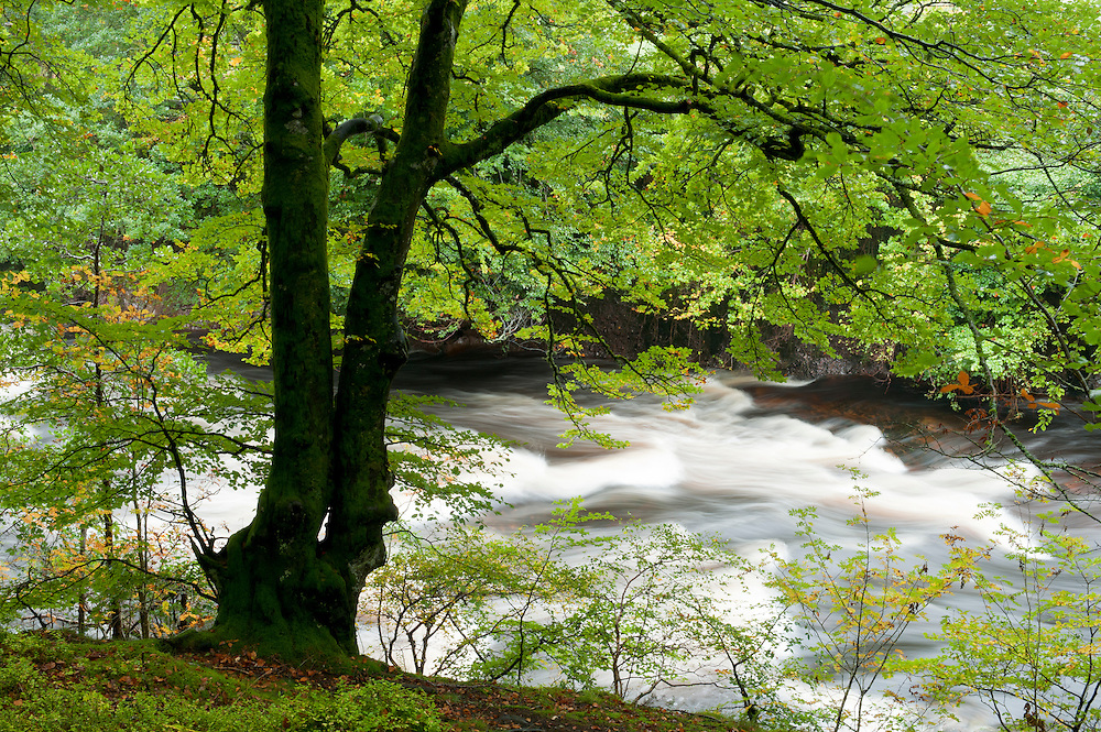 Beech and the River North Esk, Scotland..