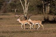 Grant's gazelles in African savannah habitat