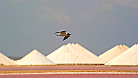Gull Flying Over Salt Evaporation Flat and Salt Piles in Bonaire. Image taken with a Nikon D3x and 70-300 mm VR lens (ISO 200, 300 mm, f/11, 1/1250 sec).