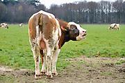 Nederland, Wijchen, 2-4-2016De koeien van de Diervoort mogen deze lente  voor het eerst uit de stal in de wei.  Poepende koe .FOTO: FLIP FRANSSEN/ HH