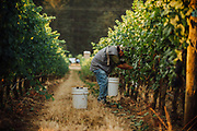 Anne_Amie_Pinot Noir Harvest for sparkling wine.