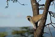 Velvet monkey on tree, Masai Mara, Kenya.