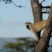 Velvet monkey on tree, Masai Mara, Kenya.