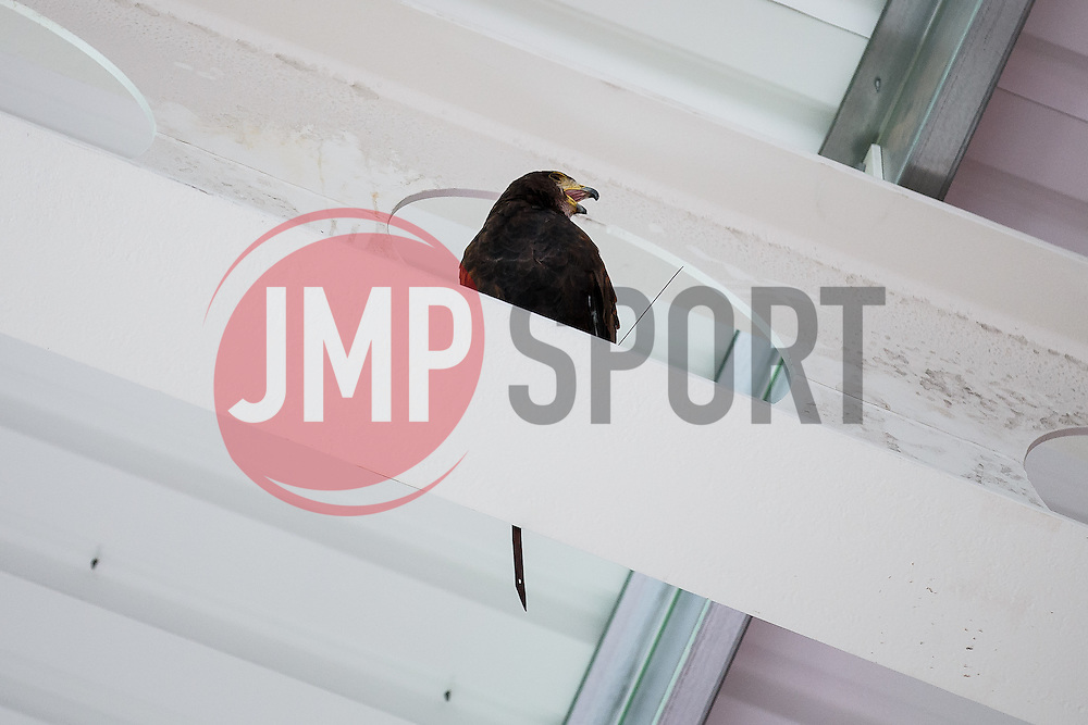 A bird of prey is used to fend of pigeons as Lansdown Club Members are given a preview of the Heineken Lounge and other facilities in the newly built South Stand - Mandatory byline: Rogan Thomson/JMP - 07966 386802 - 13/08/2015 - SPORT - Ashton Gate Stadium - Bristol, England - Bristol Sport Lansdown Club Networking Event.