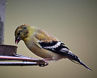 American Goldfinch at the Bird Feeder. Image taken with a Nikon D5 camera and 600 mm f/4 VR telephoto lens.
