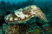 Reef Cuttlefish (Sepia latimanus), photographed in Lembeh Strait, Indonesia