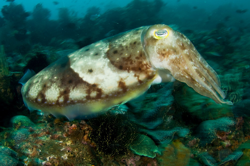Reef Cuttlefish (Sepia latimanus), photographed in Lembeh Strait, Indonesia