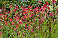 Indian paintbrush wildflowers on Werner Peak, Stillwater State Forest, Montana, USA