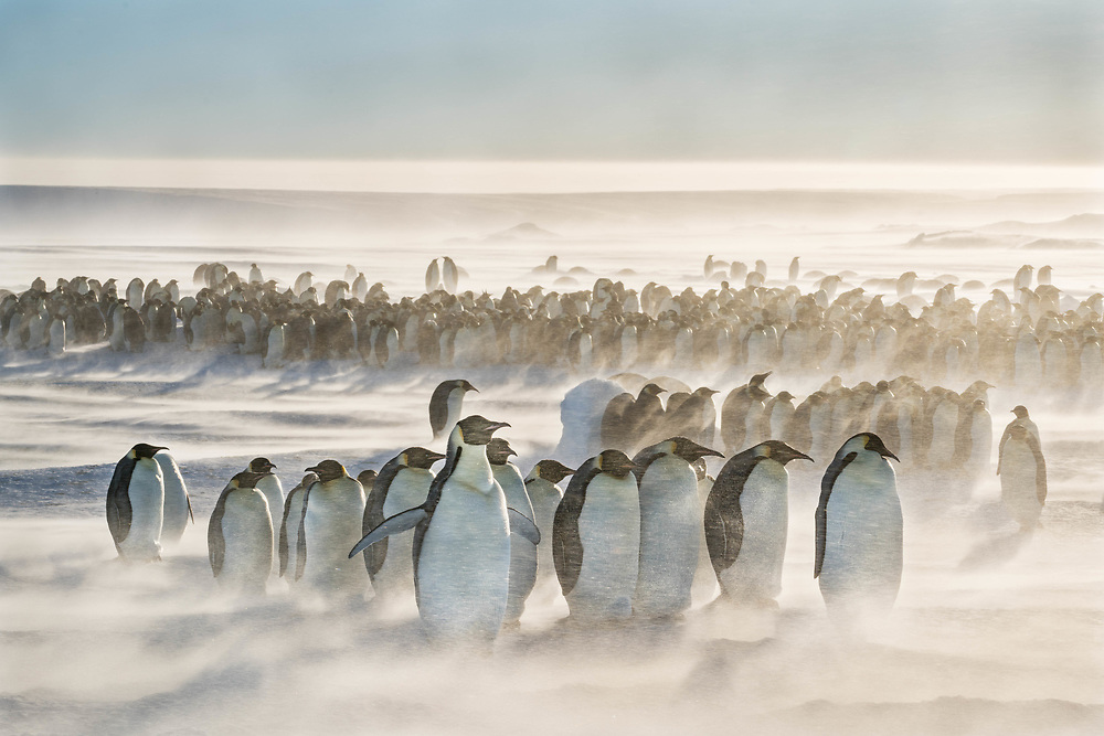 Emperor penguins withstand winds above 25 knots at a colony of 8,000 individuals in Gould Bay, Weddell Sea, Antarctica.