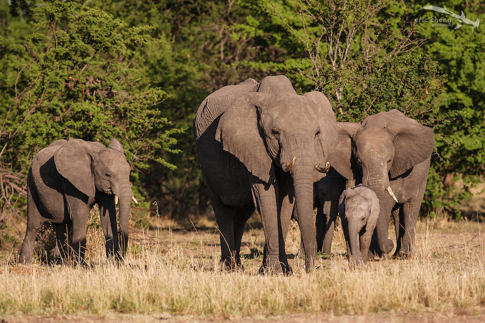 A herd of African bush elephants (Loxodonta africana), Serengeti, Tanzania