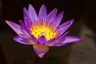Purple open lotus flower, Thailand