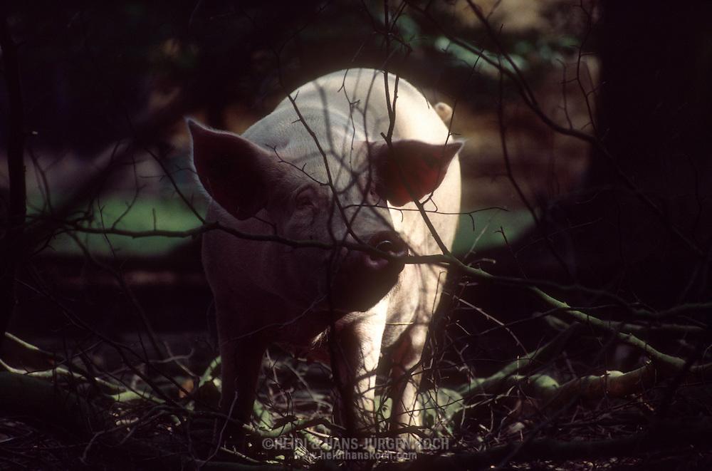 DEU, Deutschland: Hausschwein (Sus Scrofa f. domestica), Sau blickt durch dünne Zweige von einem Baum in einem Eichenwald, heute gibt es nur noch sehr selten Schweine im Eichenwald, Bega, Nordrhein-Westfalen | DEU, Germany: Domestic pig (Sus scrofa f. domestica), sow looking through thin twigs of a tree in an oak forest, it is very rare that pigs are kept in an oak forest today, Bega, Nordrhein-Westfalen |