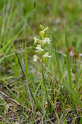 Bergnachtorchis, Platanthera montana